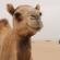 Fernando Albrecht conta a fabulinha do camelo e do dromedário no blog