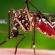 Imagem de um mosquito aedes aegypti, cuja infestação causou alerta sanitário em Porto Alegre