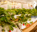 Estande com morangos e visitantes na estande do Senar. Fruto de parceria entre instituições