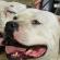 Dois cachorros grandes passeiam presos por uma coleira. Atrás aparece parte das pernas de quem os conduz pela guia