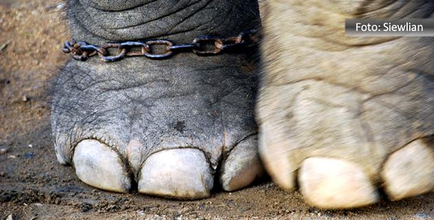 Duas patas de elefante. Uma delas acorrentada com uma corrente enferrujada.