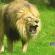 Leão em gramado verde com posição de ataque