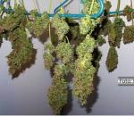 Folhas de drogas - maconha - secando em cabides plásticos
