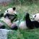 Dois ursos pandas deitados de barriga para cima comendo brotos de bambu