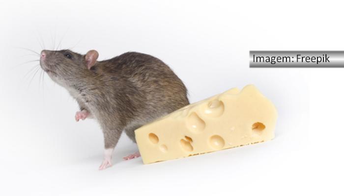 Rato cinza atrás de um pedaço de queijo