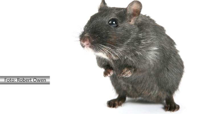 Fernando Albrecht está convicto de que a humanidade descende do rato