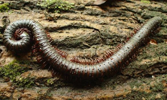 centopeia o inseto das cem perninhas