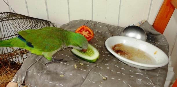 Periquito Ico comendo pepino