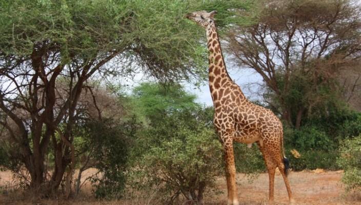 a falha na criação da girafa