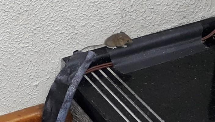 ratinho