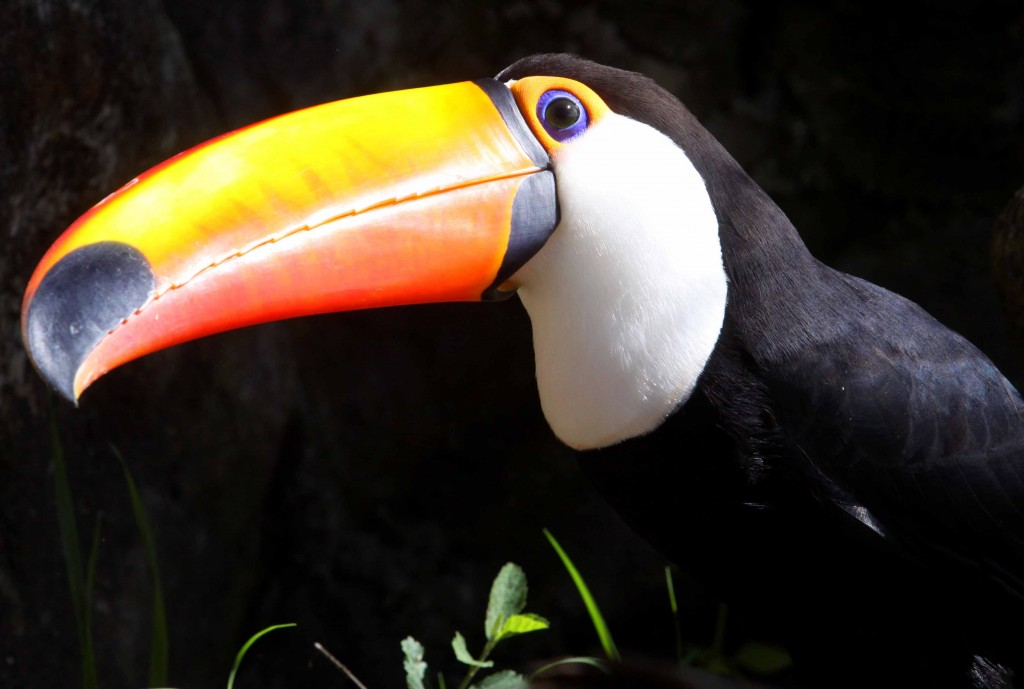 Joao-Mattos-fotografa-animais-da-fauna-brasileira-na-imagem-tem-um-tucano-1