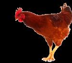 galinha pinto frango galo (43)