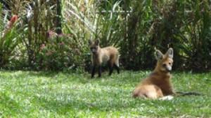 lobo-guará